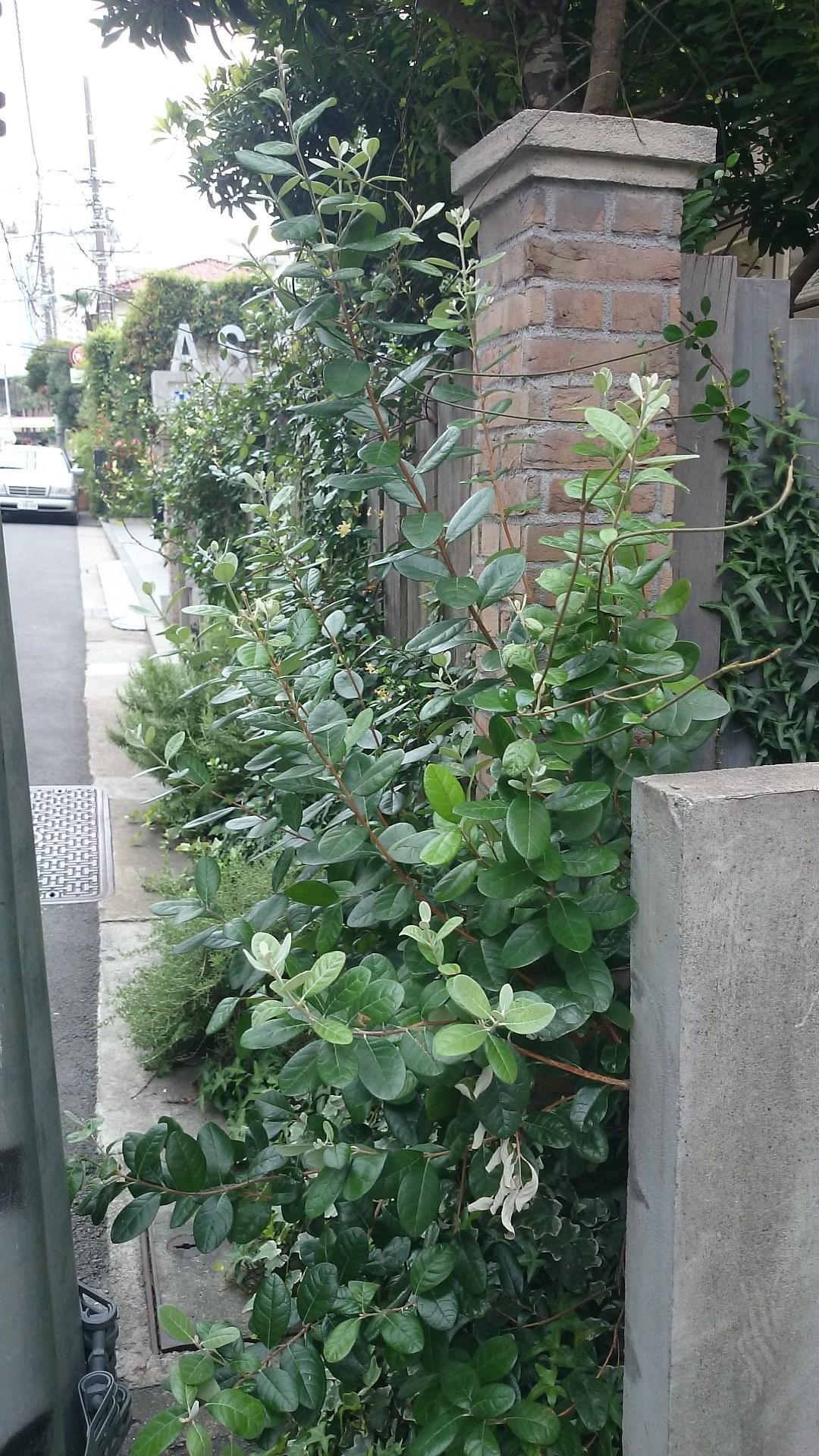 フェイジョア アポロ クーリッジ トライアンフ 植栽例