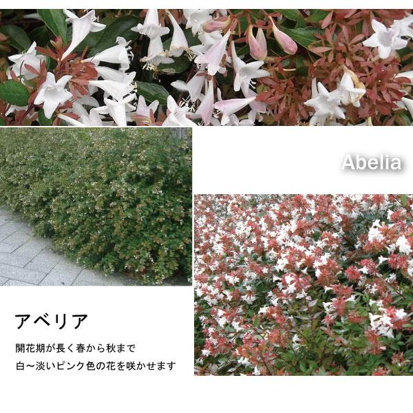 アベリア 白花