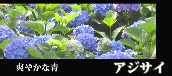 紫陽花 アジサイ あじさい 580バナー
