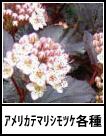 アイコン アメリカテマリシモツケ