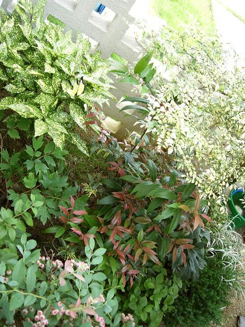 アオキ ブルーベリー フイリシマトネリコ セイヨウイワナンテンアキシラリス ワイルドストロベリー 植栽例