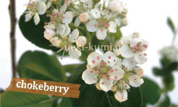 アロニア チョコベリー 人気のシンボルツリー
