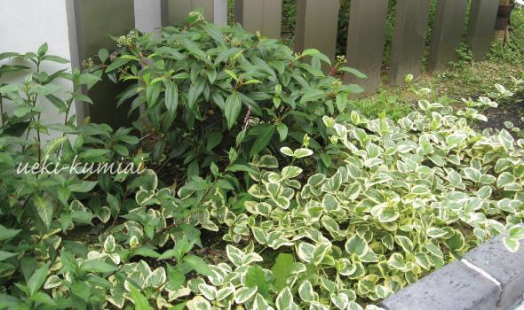 斑入り ビンカマジョール 常緑ガマズミの植栽例