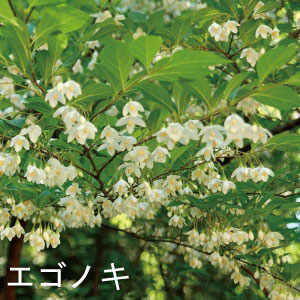 エゴノキ 人気のシンボルツリー
