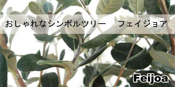 フェイジョア 常緑のシンボルツリー