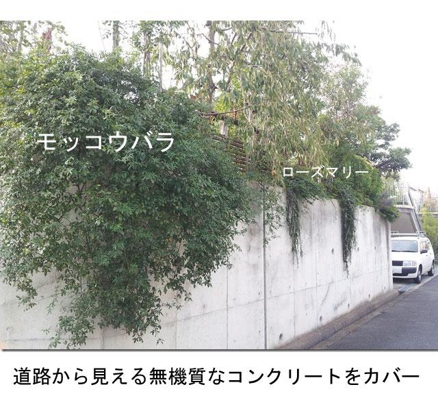ローズマリー 植栽例  モッコウバラ