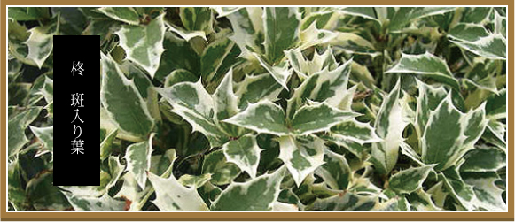 斑入り葉柊 フイリヒイラギ ふいりひいらぎ 580バナー
