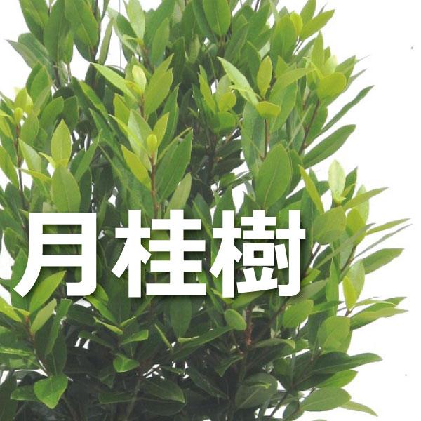 月桂樹 苗木 ゲッケイジュ ローリエローレル