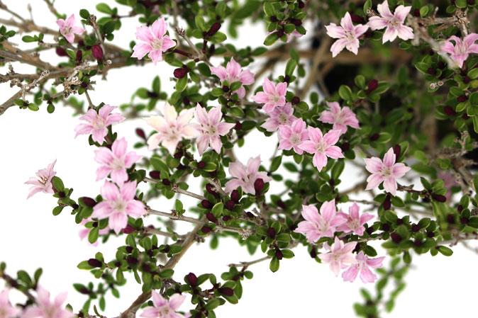 ハクチョウゲ ピンク 花の様子
