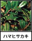 アイコン ハマヒサカキ