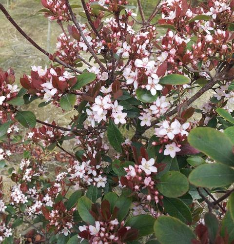 ヒメシャリンバイ 花