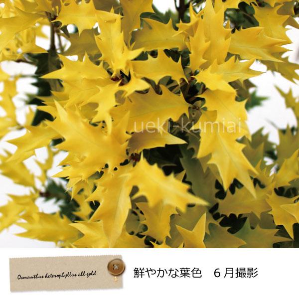 オウゴンヒイラギ(黄金柊)