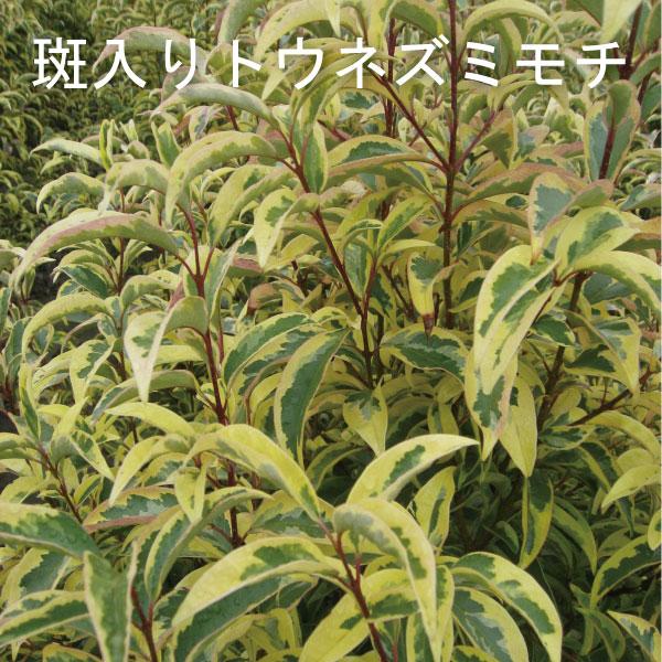 フイリ トウネズミモチ トリカラー 斑入り葉