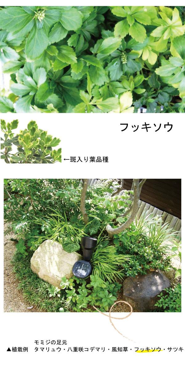 フッキソウ 植栽例