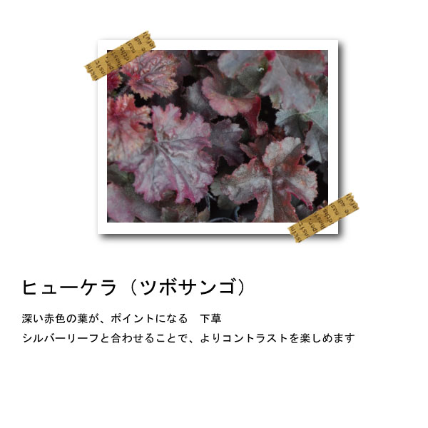 ヒューケラ ツボサンゴ 苗