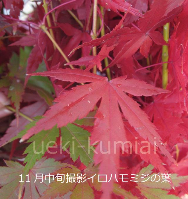 イロハモミジ 紅葉