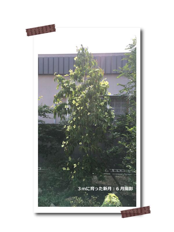 常緑ヤマボウシ ホンコンエンシス 単木 株立ち 花 苗 しんげつ 新月 シンゲツ