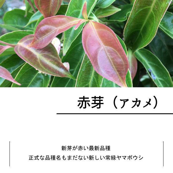 常緑ヤマボウシ ホンコンエンシス 単木 株立ち 花 苗  アカメ 赤芽