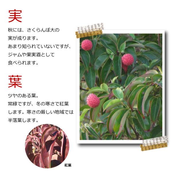 常緑ヤマボウシ ホンコンエンシス 単木 株立ち 花 苗