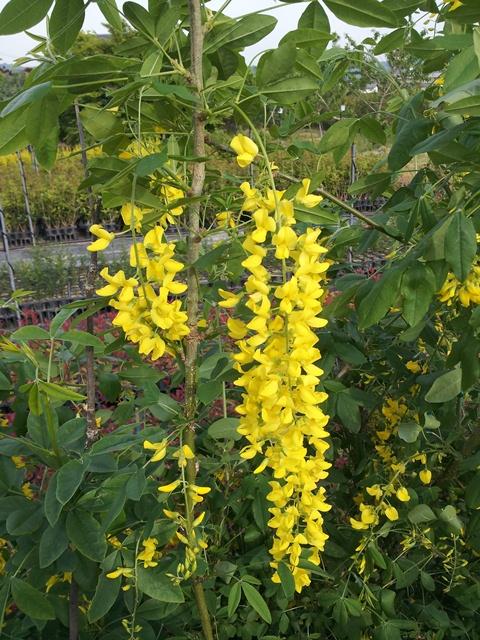 キングサリ 花