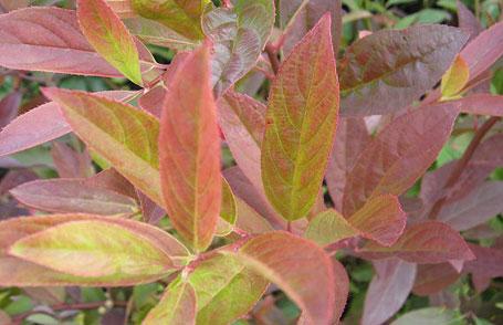 コバノズイナ こばのずいな 紅葉