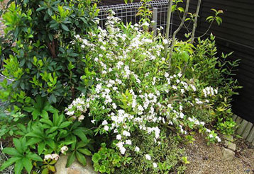小手毬 コデマリ こでまり 八重 植栽例1