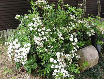 小手毬 コデマリ こでまり 八重 植栽例2