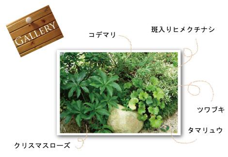 クリスマスローズ ツワブキ コデマリ 植栽例