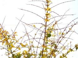プリペット レモン&ライム 冬の葉 半落葉