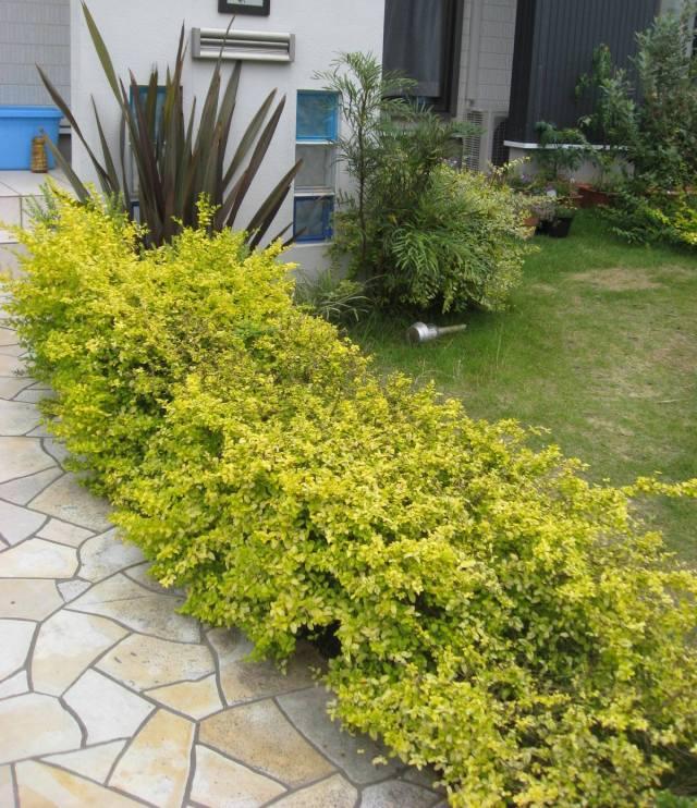 植栽例 プリペット レモン&ライム
