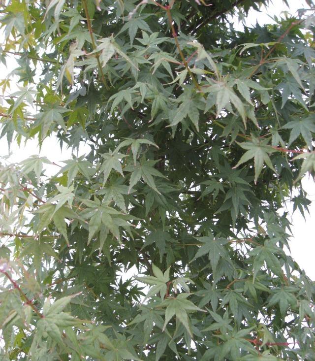イロハモミジ 人気のシンボルツリー