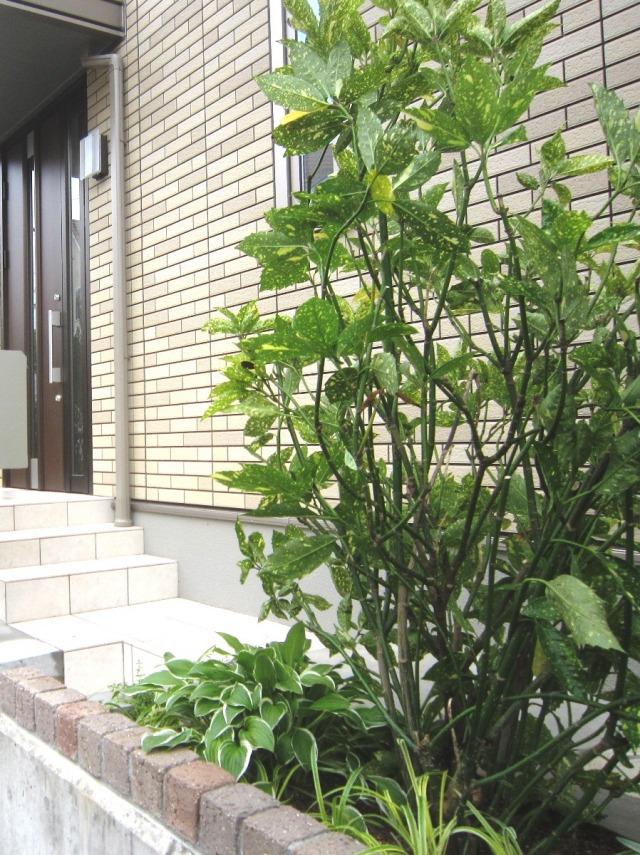 ホスタ ギボウシ アオキ 植栽例