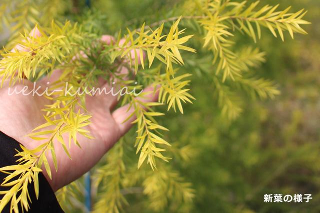 メラレウカ 人気のオーストラリアンプランツ メラリューカ 苗 レボリューションゴールド