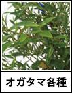 アイコン オガタマ各種