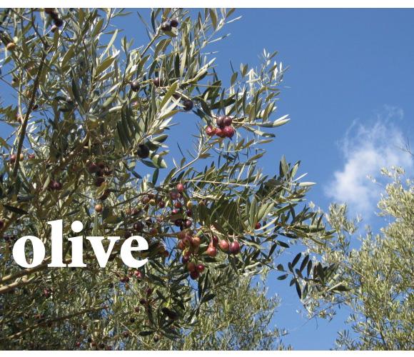 常緑 オリーブ シンボルツリー