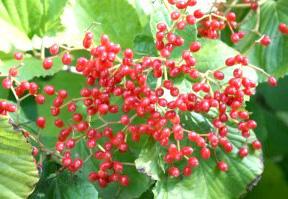落葉ガマズミ 赤い実