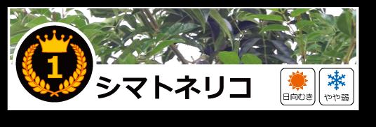 ランキング常緑 シマトネリコ