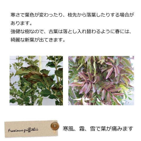 シマトネリコ 冬 葉 植木組合