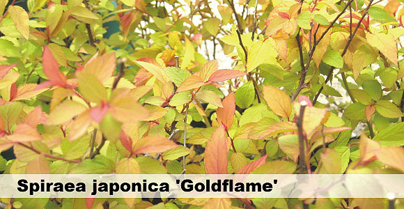 シモツケ 黄金葉 ゴールドフレーム 580バナー