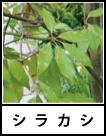 アイコン シラカシ