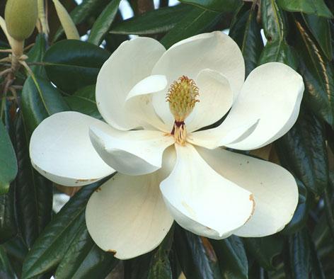 タイサンボク 花