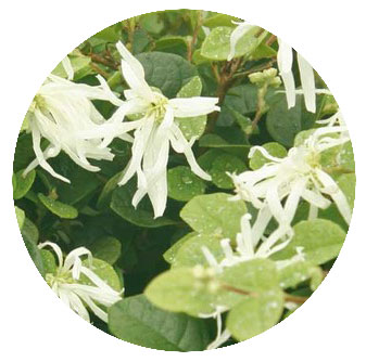 トキワマンサク青葉白花 花