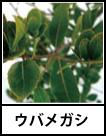 アイコン ウバメガシ
