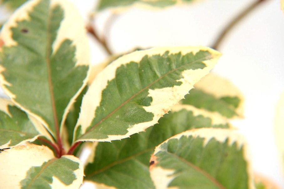 ヤブコウジ 斑入り 葉