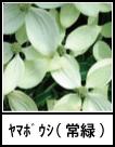 アイコン ヤマボウシ