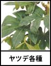 アイコン ヤツデ