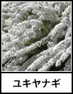 アイコン ユキヤナギ